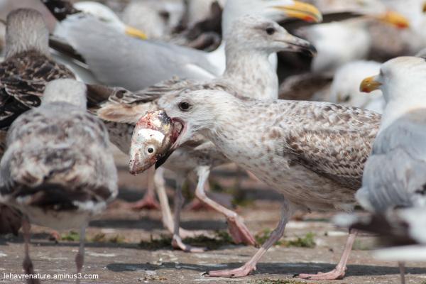goeland      /     gull