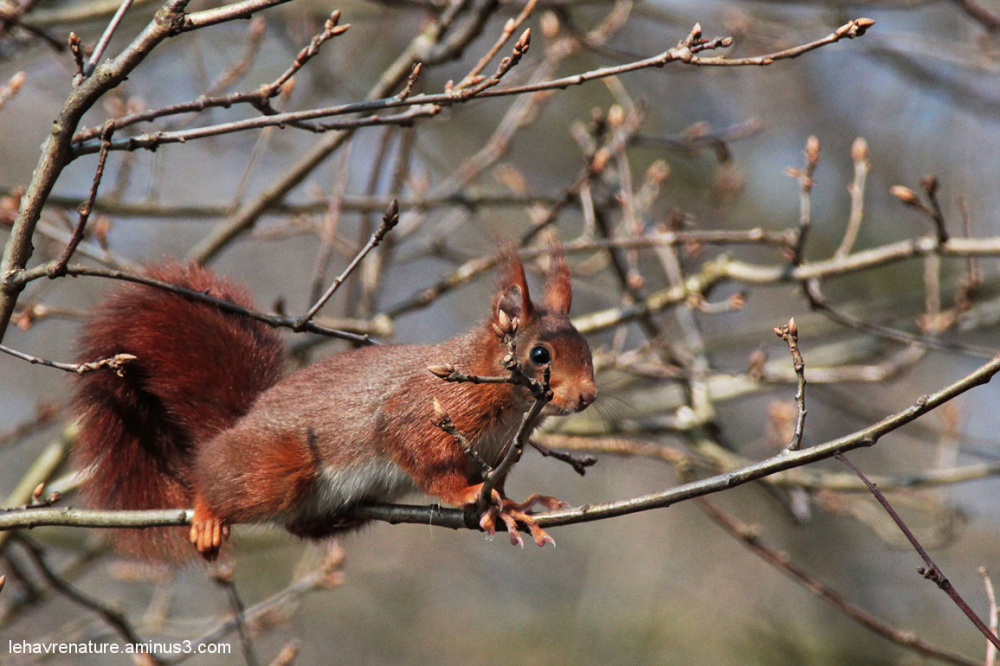 ecureuil  / squirrel