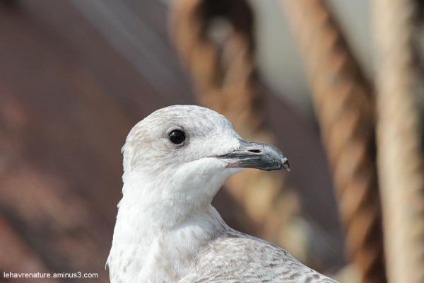 goeland  juvénile    /  juvenile gull