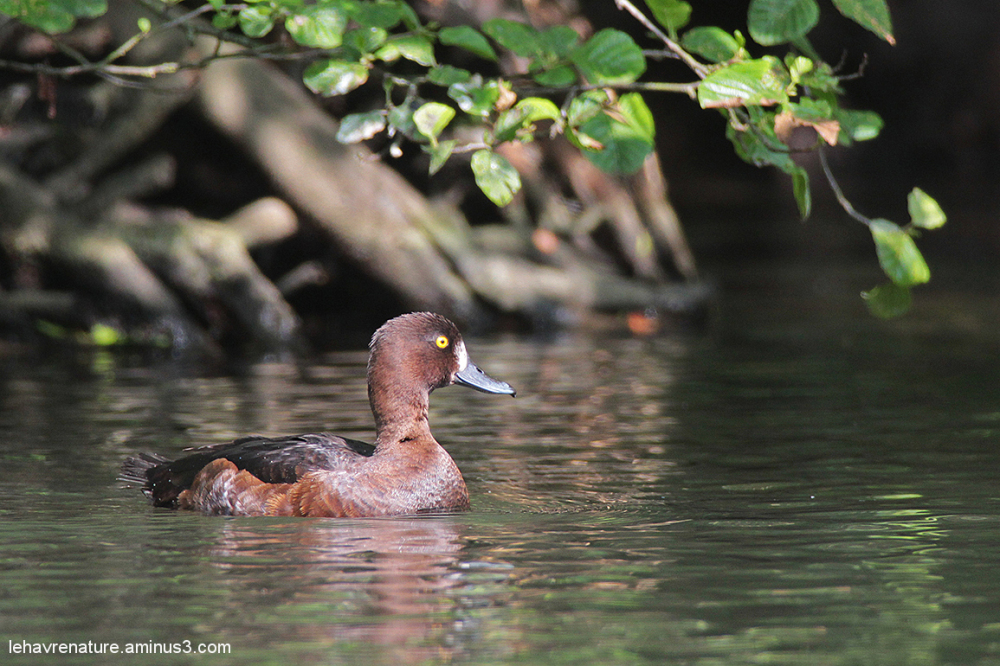 morillon  /  tufted duck