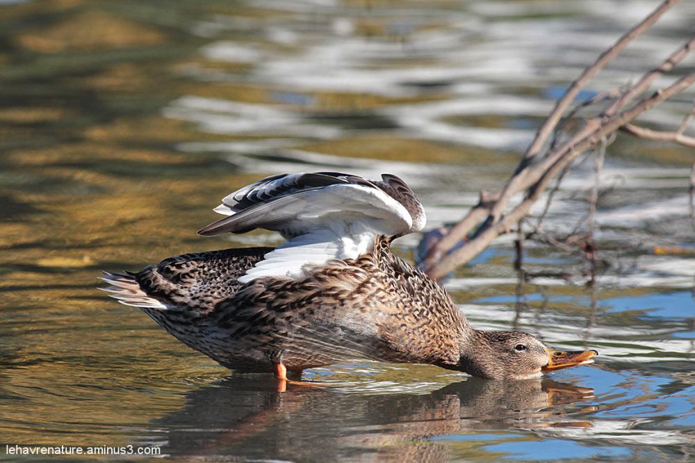 Canard Hybride  / Hybrid duck