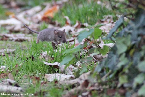 Souris   /  Mouse