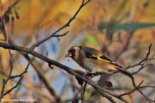 Chardonneret /goldfinch