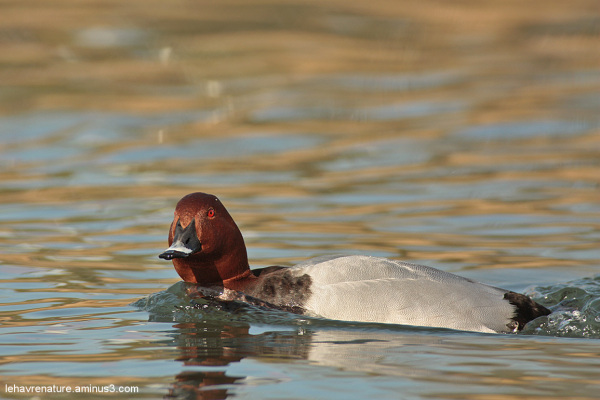 Fuligule milouin  / Common Pochard