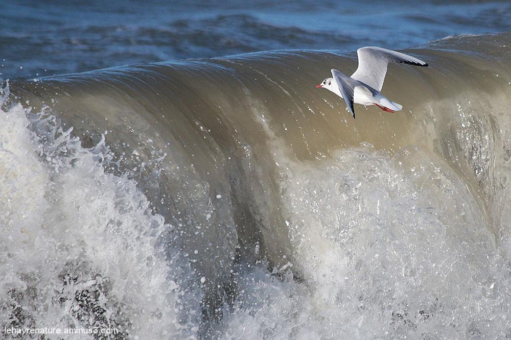 mouette rieuse         /   blackhead gull