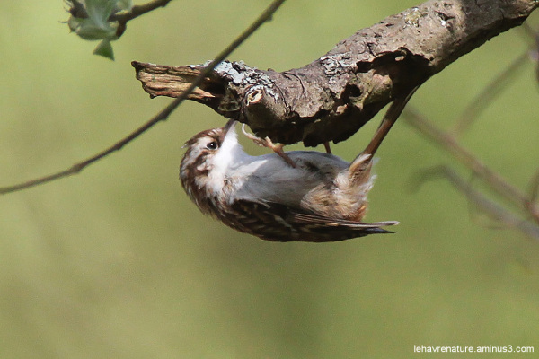 Grimpereau / tree creeper