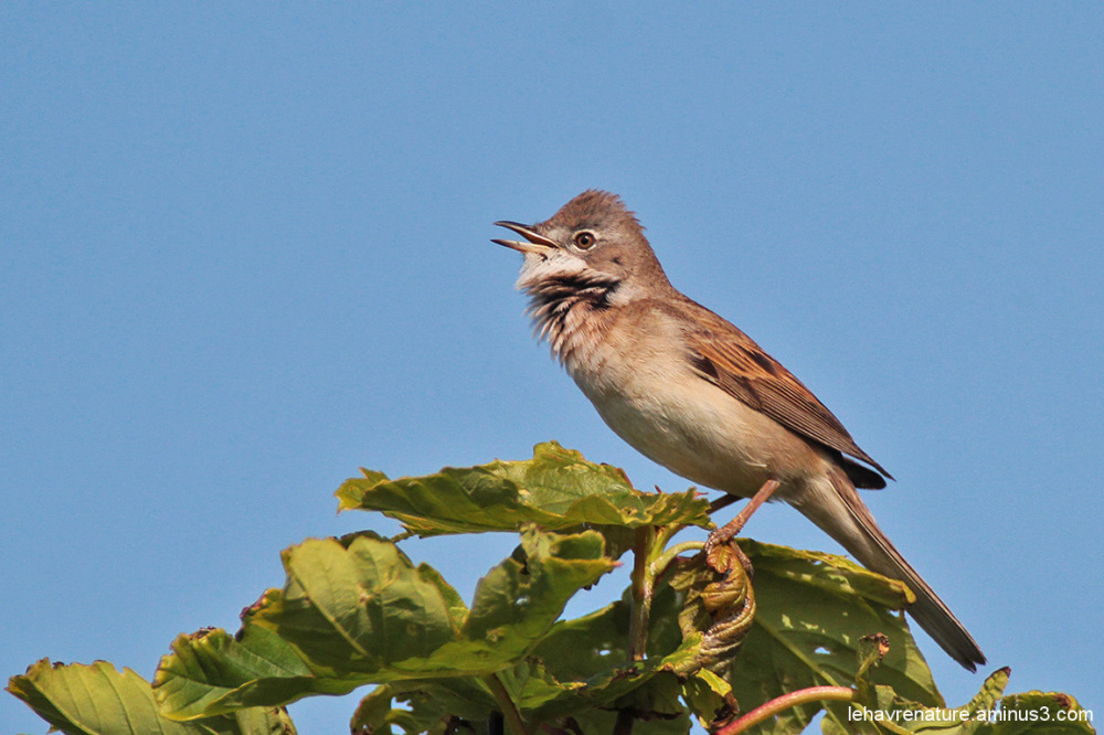 Fauvette grisette  /  Whitethroat