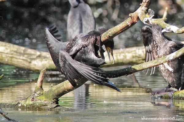 cormoran   /  cormorant