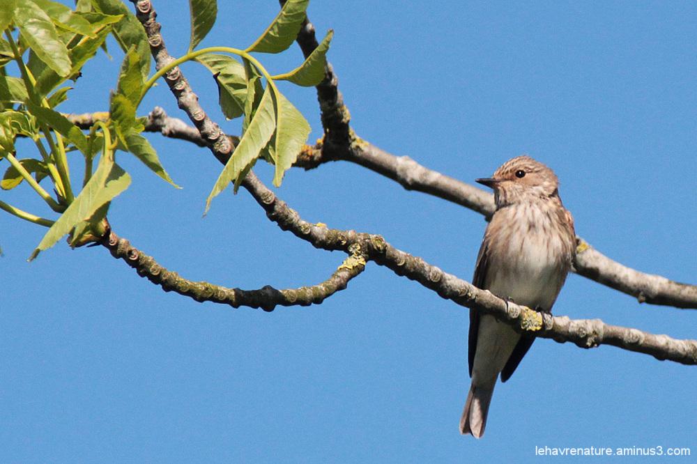 gobemouche  gris / gray Flycatcher