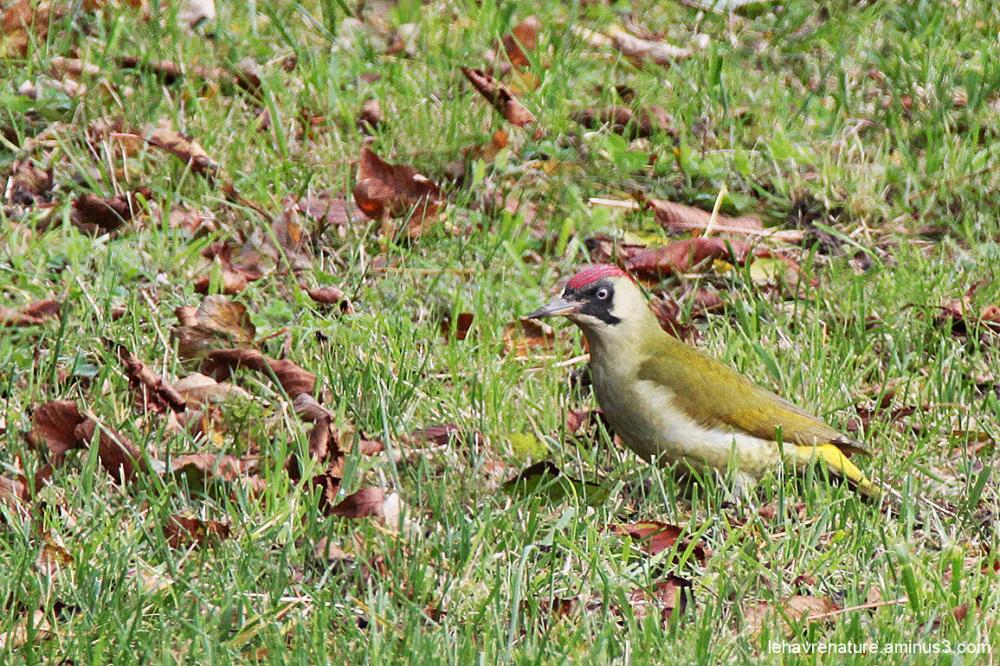 pic vert  / woodpecker