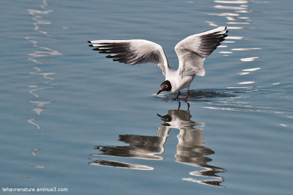 mouette rieuse         /   blackhead gull