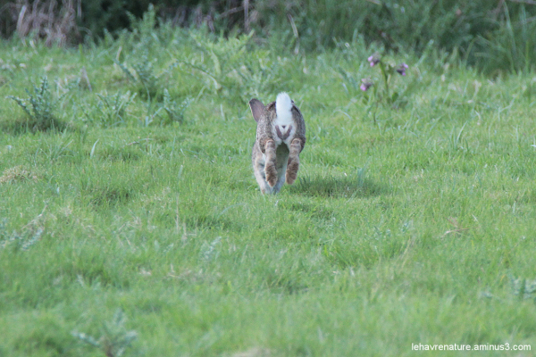 Lapin de garenne   /  Rabbit warren