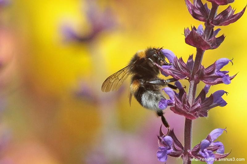Bourdon terrestre  / Earth bumblebee