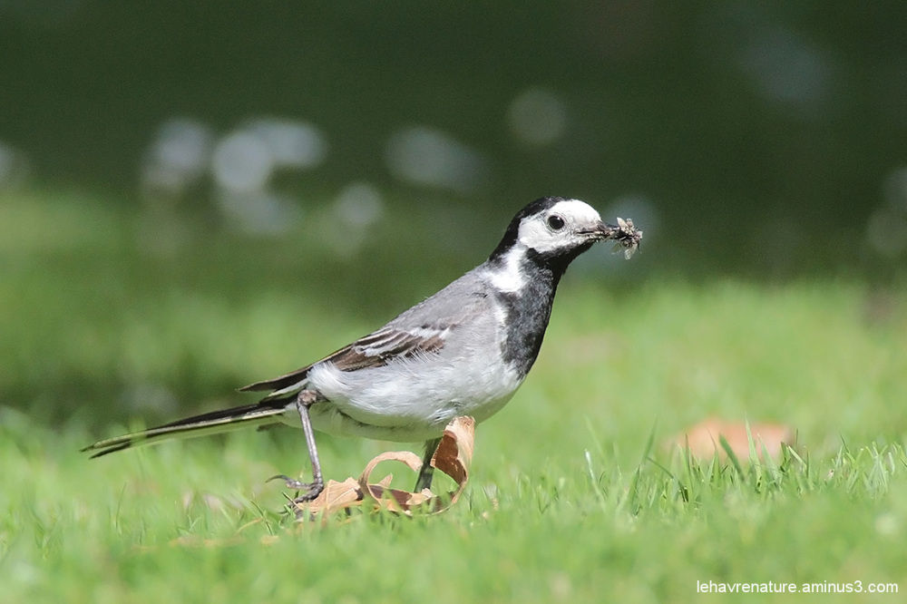 Bergeronnette grise / White Wagtail