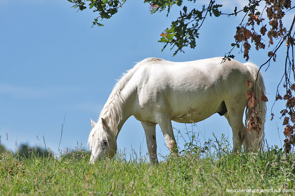 cheval  / horse