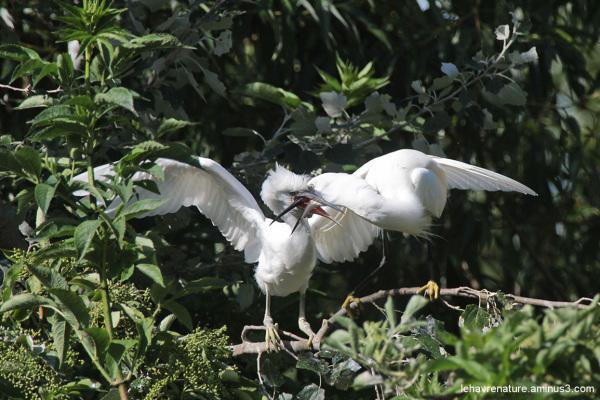 aigrette garzette   /  egret