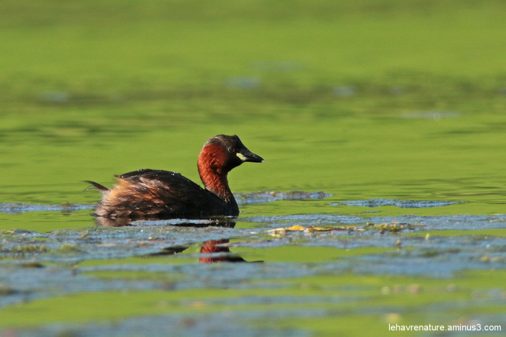 grèbe castagneux    /    little grebe
