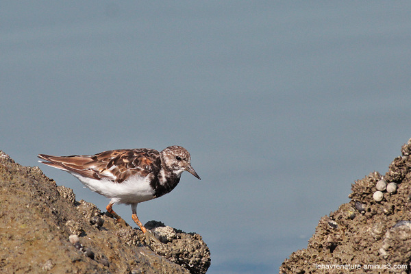 tournepierre à collier   /  Ruddy Turnstone