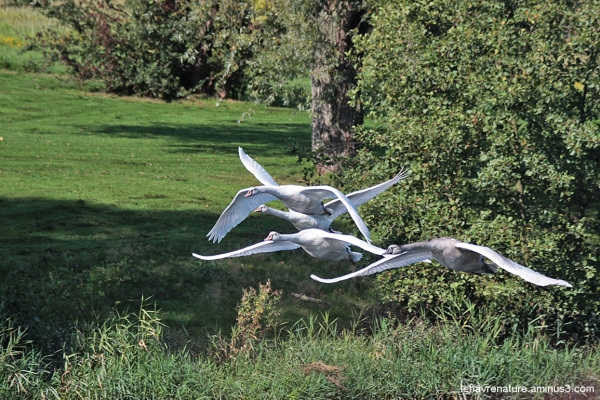 Cygne  /  swan