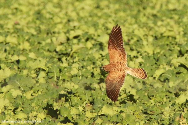 faucon crécerelle   /  kestrel