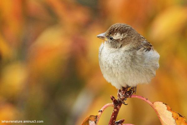 moineau domestique  /  house sparrows