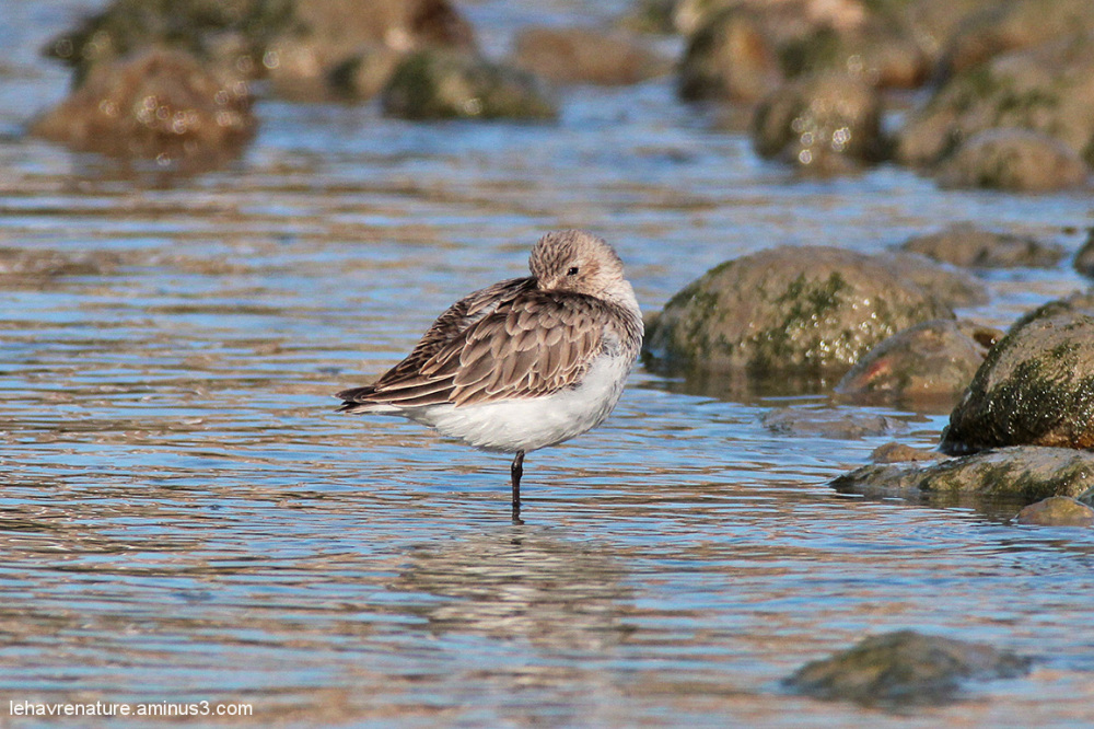 Becasseau variable   /  Dunlin