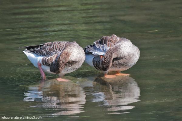 oies cendrées  / greylag geese