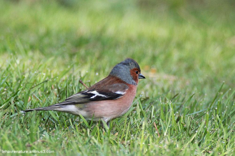 pinson  / chaffinch