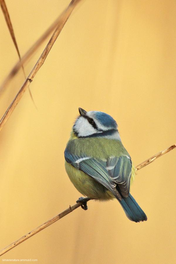 mesange bleue   / blue tit