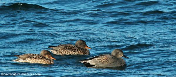 canard chipeau  /  Gadwall duck