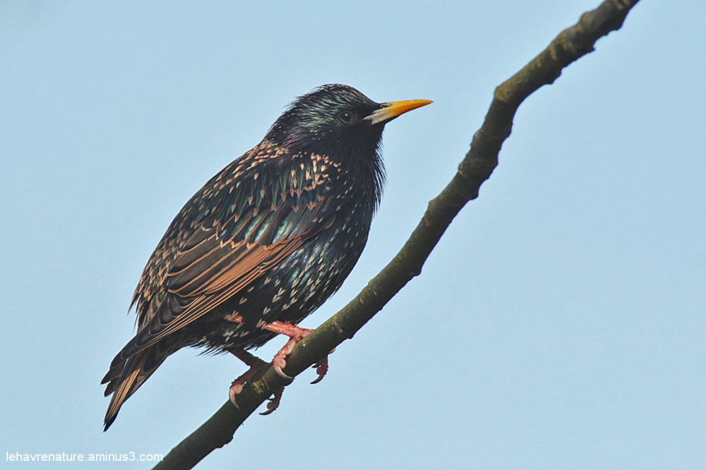 étourneau     /   starling