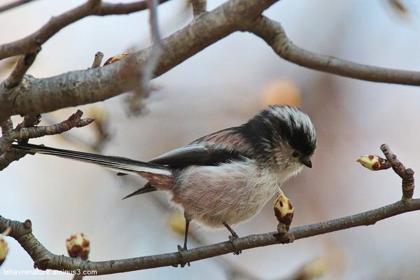 Mésange à longue queue  /  Long-tailed Tit