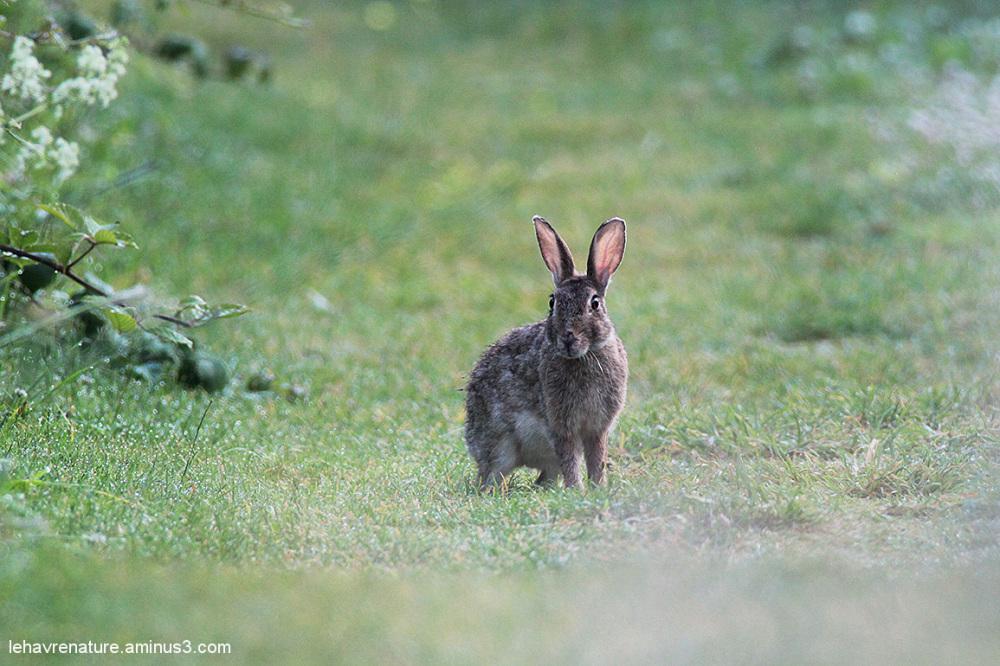 Lapin de garenne   /  Rabbit warren