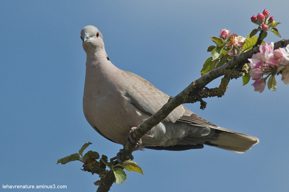 tourterelle  / turtledove