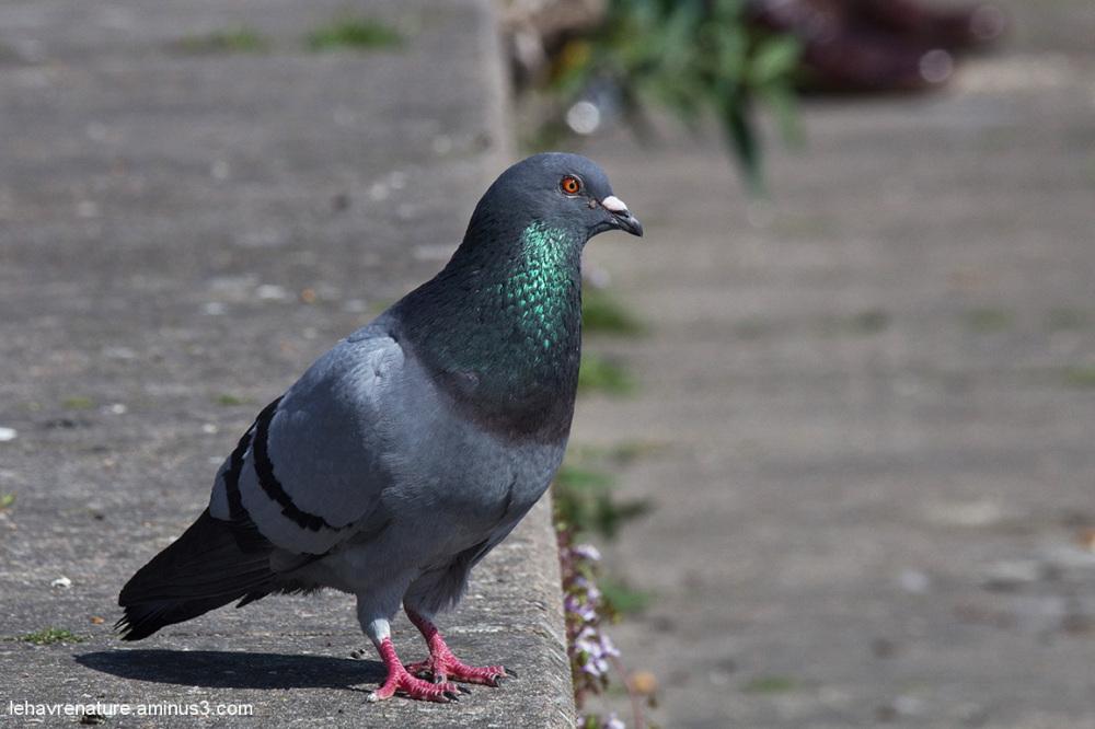 pigeons  /   pigeons
