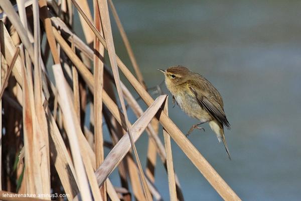 pouillot fitis  / willow warbler