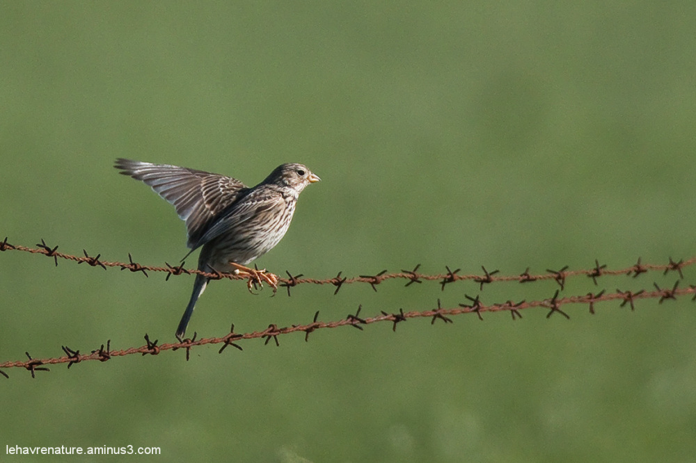 Bruant proyer  /  Corn Bunting