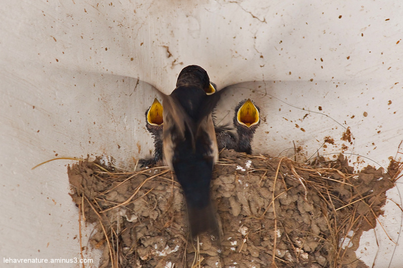 hirondelles rustiques / Barn Swallows