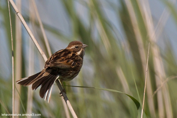 Bruant des roseaux  /  Reed Bunting
