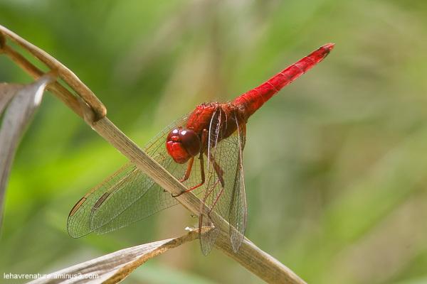 Libellule écarlate   / scarlet dragonfly