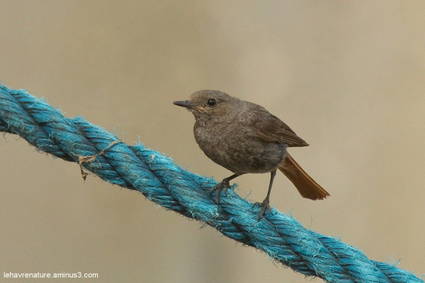 Rouge-queue / Redstart