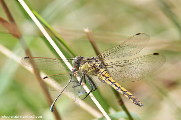 orthetrum reticulé  /  Reticulated orthetrum