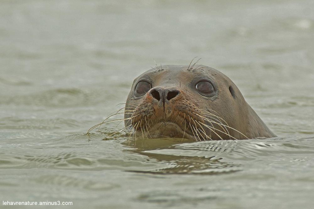 Veau marin  /  seal