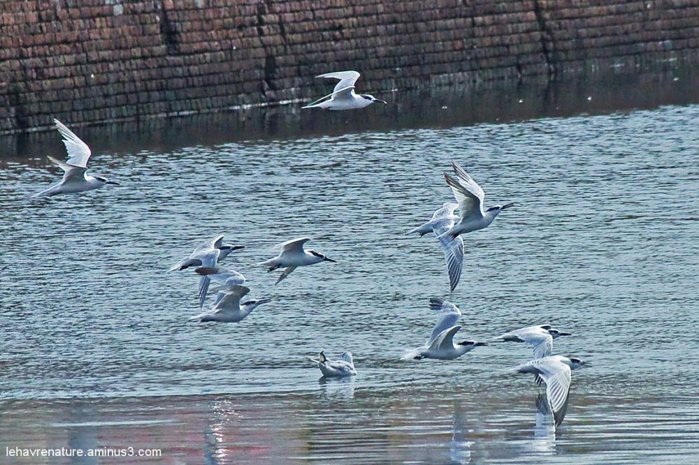sterne caugek     /   Sandwich Tern