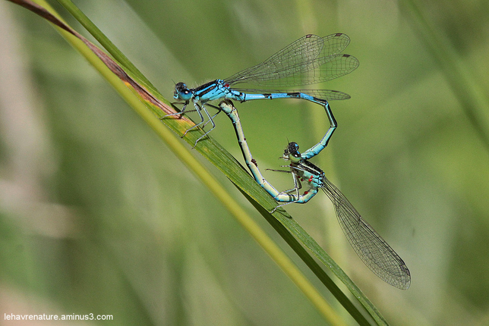 Agrion jouvencelle  / Bluet Damselfly