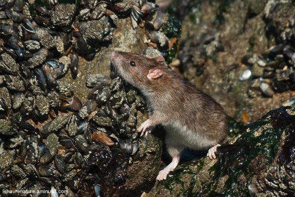 rat  / rat