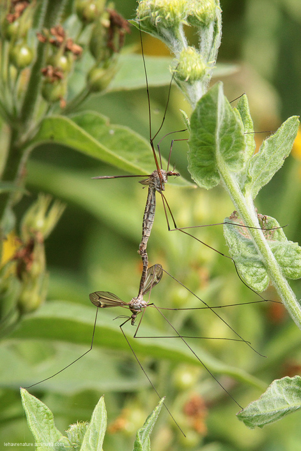 tipules / crane flies
