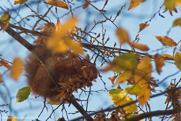 ecureuil  / squirrel