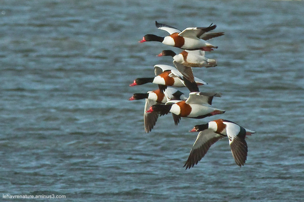 Tadorne de belon  /  Shelduck