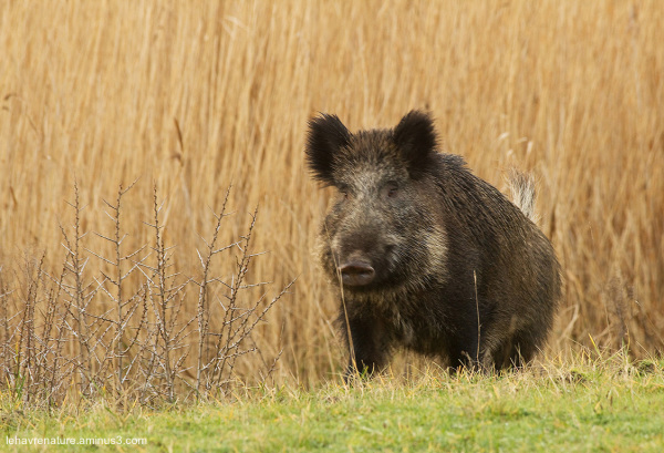 Sanglier  /  Boar